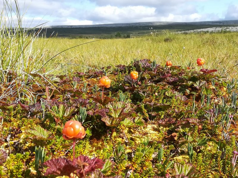 Cloudberries on the mountain